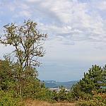 Acacia and pine
