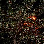 Acacia and streetlight