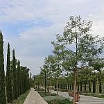 Acacia trees and cypresses