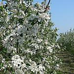 Apple trees in bloom_2s
