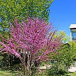 Cercis and sycamore