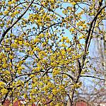 Dogwood and Poplar