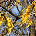Gledichia leaves