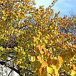 Golden apricot tree