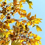Golden Sycamore