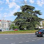 Lebanese cedar in Ushakova Square