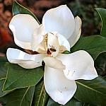 Magnolia_7