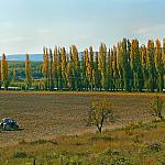 Poplars along a Road