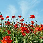 Poppies and sky
