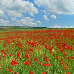 Poppies Fields_1