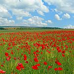 Poppies Fields_2