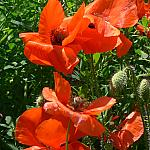 Poppies in Grass