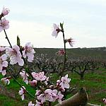 Pruned peach orchard