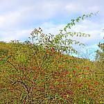 Rosehip bush
