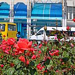 Roses and buses
