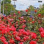 Roses and crosswalk