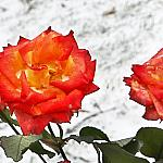 Roses and snow_1