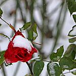Roses and snow_2