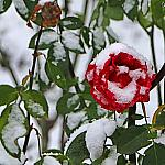 Roses and snow_3