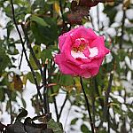 Roses and snow_4