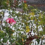 Roses and snow_5