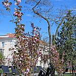 Sakura and Acacia