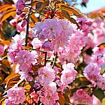 Sakura too