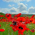 Simply Poppies