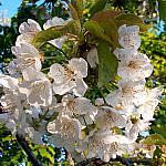 Черешня в цвету